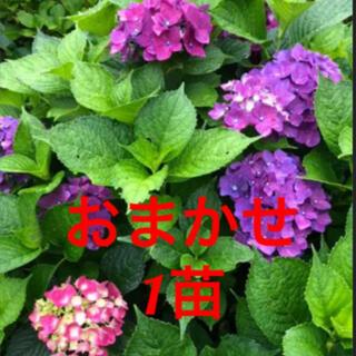 紫陽花 挿し木苗 おまかせ