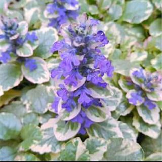 お洒落なグランドカバー ◆アジュガ◆バニラチップ◆青い花◆【抜き苗】2株(その他)