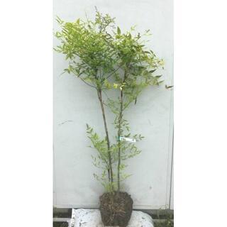 《現品》白南天(シロナンテン)樹高1.2m(根鉢含まず)18【南天の木・苗木】(その他)
