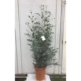《現品》ユーカリ・グニー 樹高1.6m(鉢含まず)29【鉢/苗木/植木】(その他)