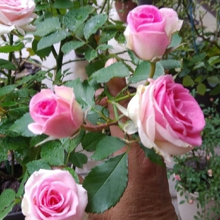 薔薇🌹『ミミエデン』🌹挿し木苗(その他)