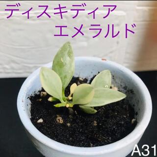 【A31】美しい斑入り 人気のディスキディア  エメラルド バリエガータ 抜き苗(その他)