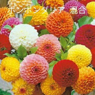ダリア  25粒  ポンポン咲き  混合  花種(プランター)