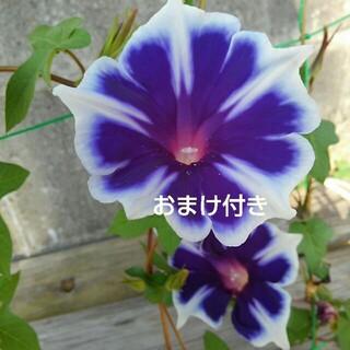 豪華な白の縁取りが美しい朝顔スピリットペダル種➕おまけ付き(その他)