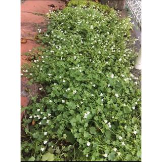 シンバラリア(ツタバウンラン)珍しい!白花の種 約 100粒以上❣️(その他)