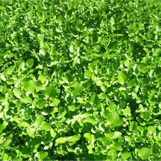 天然クレソンです。無農薬!500g❗️#2