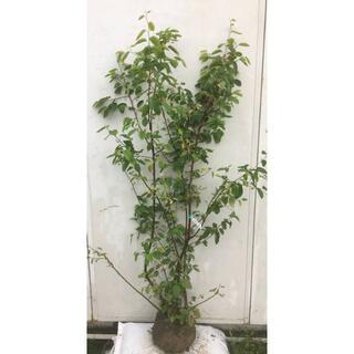 《現品》ジューンベリー 株立ち 樹高1.4m(根鉢含まず)82【果樹苗木/植木】(その他)