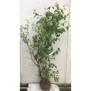 《現品》ジューンベリー 株立ち 樹高1.4m(根鉢含まず)84【果樹苗木/植木】(その他)