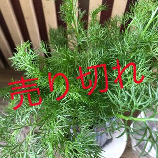 ハーブ カモミール(野菜)
