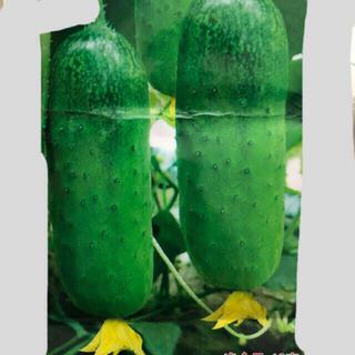 きゅうりの種、旱黄瓜種、50粒以上(野菜)