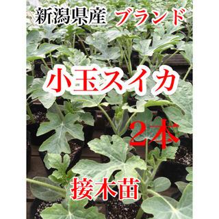 5/11迄 残り僅か 新潟県産ブランド小玉スイカ 接木苗 2本(野菜)