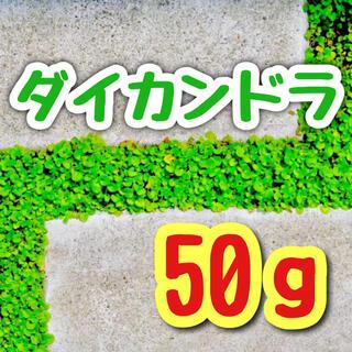 【最強グランドカバー】芝生よりお洒落!ダイカンドラ☆ディゴンドラ 種 50g!(プランター)