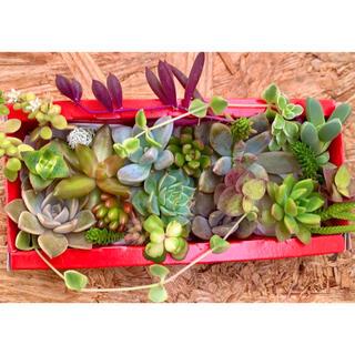 ☆多肉植物 カット苗 寄せ植えに♪マーガレットレッピン(プランター)