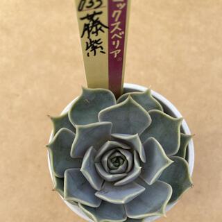ミックスベリア 藤紫 おらいさん苗 多肉植物 エケベリア(その他)