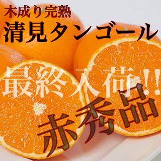 残り僅か!味本位木成り栽培【清美タンゴール】赤秀 M 5kg ※味センサー選別済(フルーツ)
