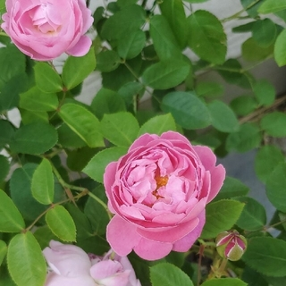 薔薇苗(その他)
