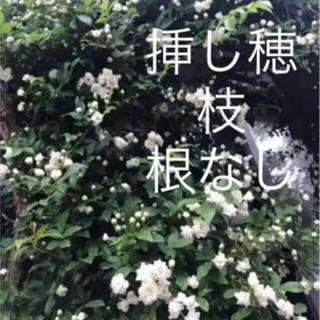(ᵔᴥᵔ)♡無農薬♡ モッコウバラ 白 八重 挿し穂 3本♡可愛いお庭♡アーチ♡(その他)