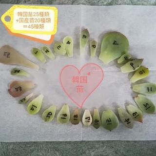 多肉植物 韓国苗25種類+国産苗20種類=45種類 葉挿しセット(その他)