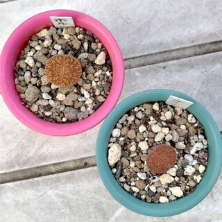 多肉植物◎宝留玉 2つセット(その他)