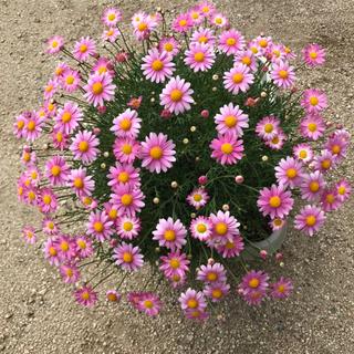 19 ピンク マーガレット 苗 開花間近 おまけあり(その他)