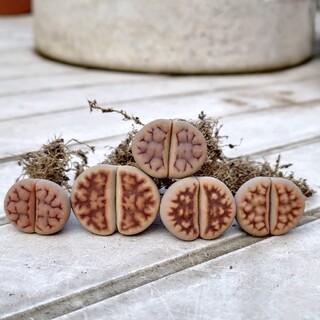 多肉植物◎琥珀玉 5つセット(その他)