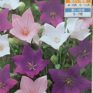 花の種       桔梗ミックス+桔梗ピンク+おまけ(その他)