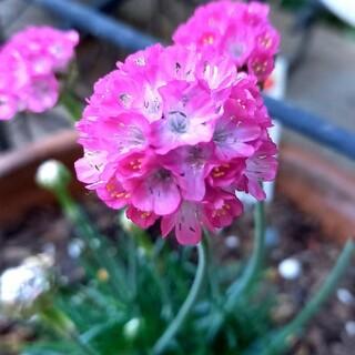 花種 アルメリア ピンク(その他)
