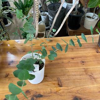 【抜き苗】3.5寸*ユーカリ ベイビーブルー*観葉植物ハーブ庭木ガーデン(その他)