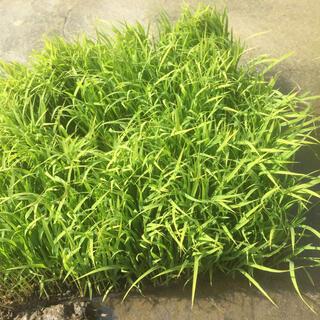 稲苗  お米になります。コシヒカリ   100本(米/穀物)