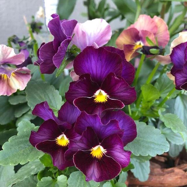 ビオラ フリルアンティークパープル 種 10粒 ハンドメイドのフラワー/ガーデン(その他)の商品写真