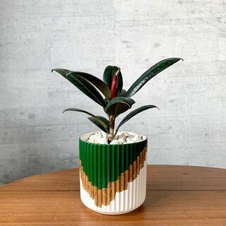 フィカス・バーガンディー(ゴムの木、クロゴム)鉢植え 観葉植物(その他)