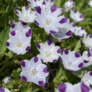 【大人気】ネモフィラ マキュラータ 60粒。お洒落なお花が咲きます。(その他)