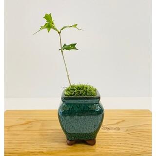 ヒイラギのミニ盆栽 苔玉(その他)