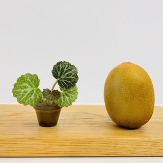 ユキノシタの豆盆栽(その他)