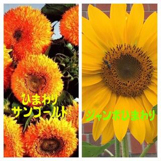 ひまわりの種◎2種◎ジャンボひまわり&サンゴールド(その他)