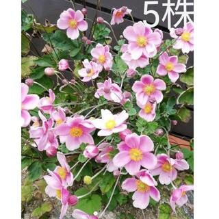 シュウメイギク ピンク 苗 5株(その他)