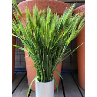 寒咲早生麦フレッシュ 麦の穂50本(ドライフラワー)