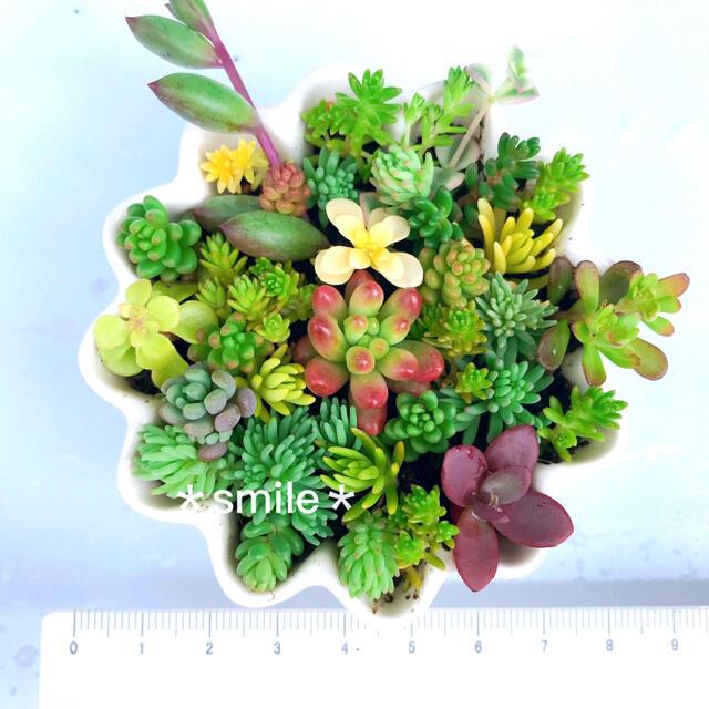 多肉植物 セダム カット苗 ハンドメイドのフラワー/ガーデン(その他)の商品写真