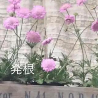 (ᵔᴥᵔ)⑤❤︎スカビオサ ピンク♡挿し穂苗♡可愛いお庭♡ベランダガーデン♡(その他)
