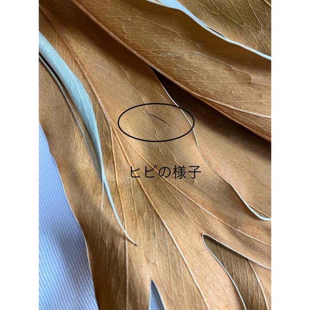 【再入荷】グレビレアゴールド(ドライ)5本 ハンドメイドのフラワー/ガーデン(ドライフラワー)の商品写真