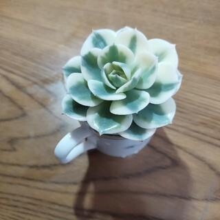 ルノーディーン錦   ラララ多肉植物(その他)
