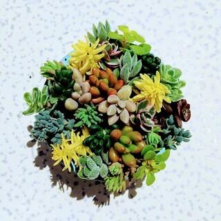 多肉植物 カット苗(その他)