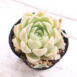 多肉植物 韓国苗 ヒアリナ✖️ペンタフェイス③(その他)