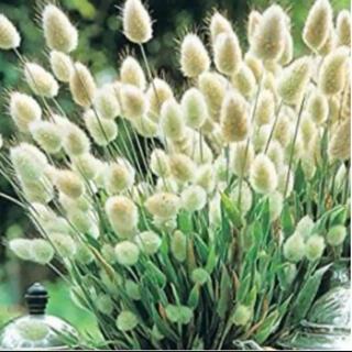 ラグラスバニーテールの種 春まき種子(プランター)