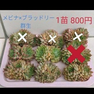 ✨Sale中✨韓国輸入苗 Mebina x Bradley 群生 カット苗(ドライフラワー)