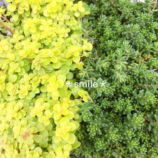 多肉植物 セダム 2種類 カット苗(その他)