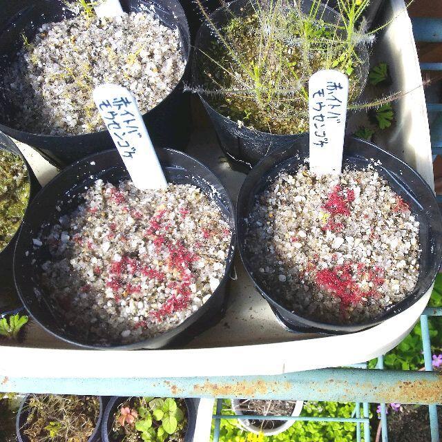 食虫植物 イトバモウセンゴケ・オールレッドの種 約100粒 ハンドメイドのフラワー/ガーデン(その他)の商品写真