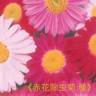 赤花除虫菊 種 30粒+おまけ  ロビンソン:ミックス 多年草(その他)