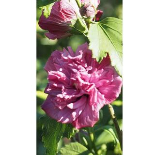 木槿 八重 濃いピンク 挿し穂7本(その他)