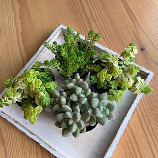 多肉植物 抜き苗